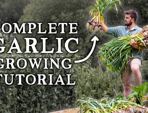 How to Grow Garlic | Simple Steps for HUGE Yields